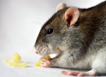 Дыня в рационе декоративных крыс
