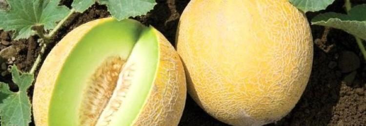 Как правильно растить алтайскую дыню