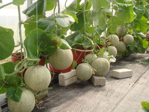 выращивание дыни колхозница