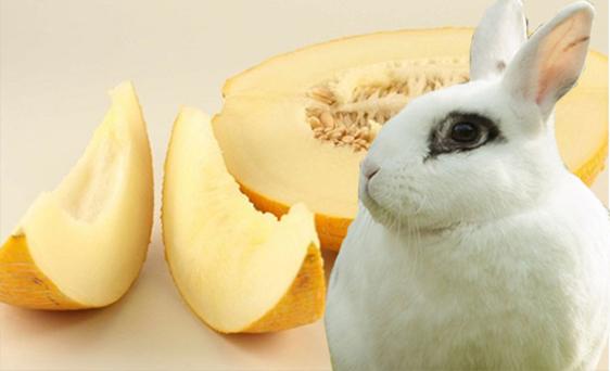 дыня для кроликов