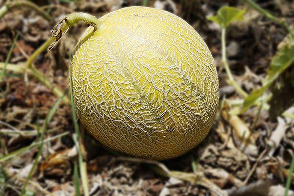 выращивание дыни в сибири
