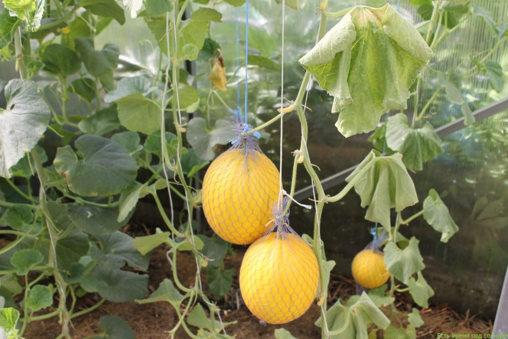 Выращивание дыни в теплице