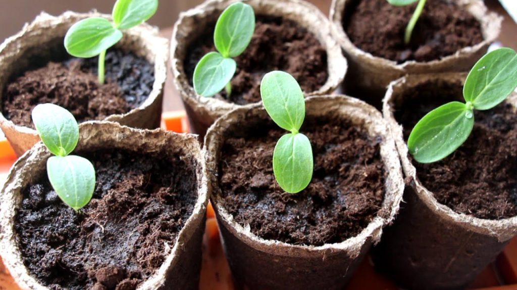 Как вырастить дыню в домашних условиях