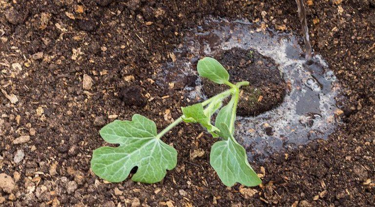 Выращивание дыни в Подмосковье