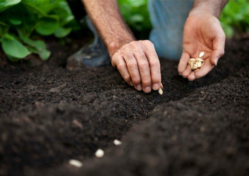 Посадка дыни в открытый грунт семенами