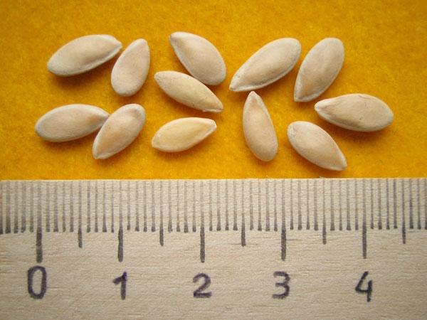 Семена дыни