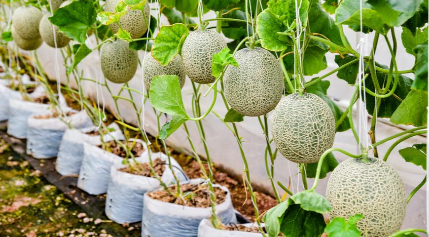 выращивание юбари